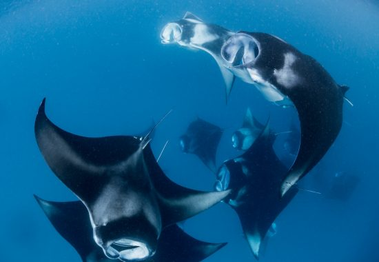 Manta Rays in the dive destination Hanifaru bay