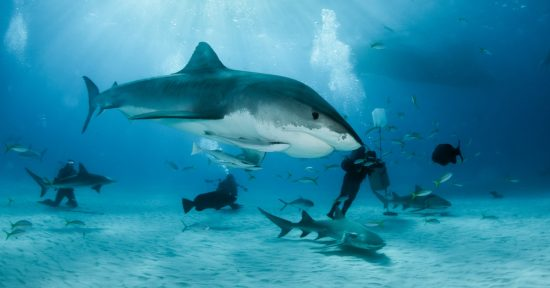 Picture shows a Tiger shark at dive destination Tigerbeach, Bahamas