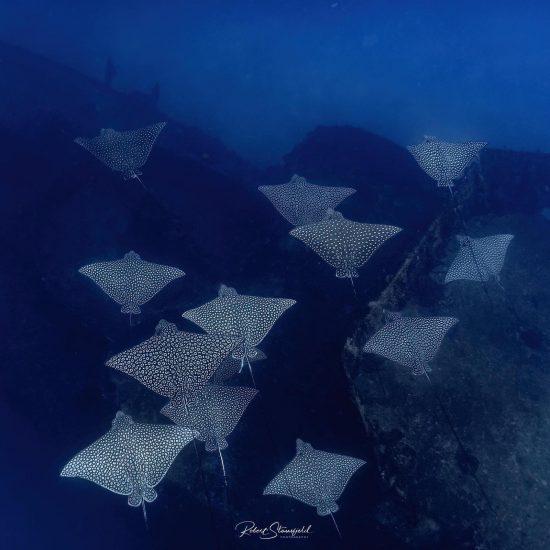 Many Eagle Rays near Cozumel