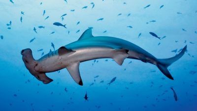 Western Australia government has proposed a new shark cull