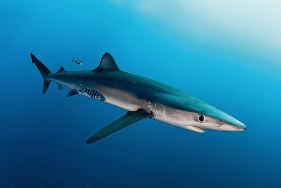 Diving with blue sharks - Shark diving in South Africa
