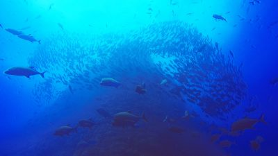 Diving by Socorro Islands is one of the best diving adventures you can have.