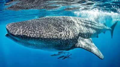 Mexico diving offers from July to March whale sharks