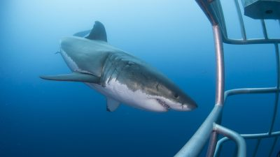 Gin-clear waters and abundant sharks have put Guadalupe firmly on the map as the world's best place to go cage diving with sharks